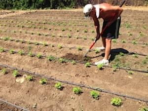 Planting July 31 2014