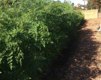 Fresh Moringa Leaf