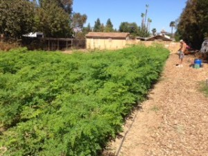 Growing Moringa with the Intensive Method